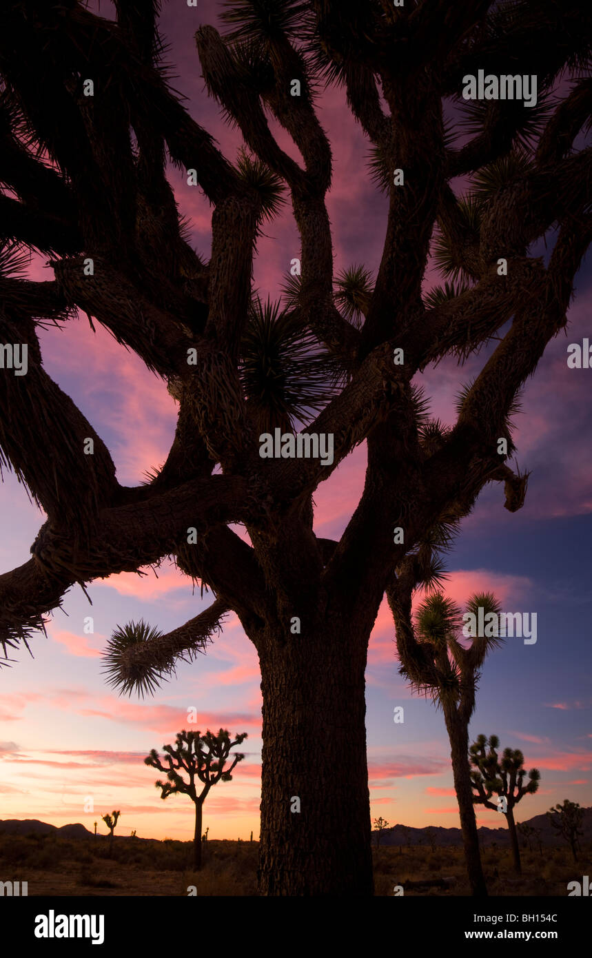 En Joshua Tree Joshua Tree National Park, California. Imagen De Stock