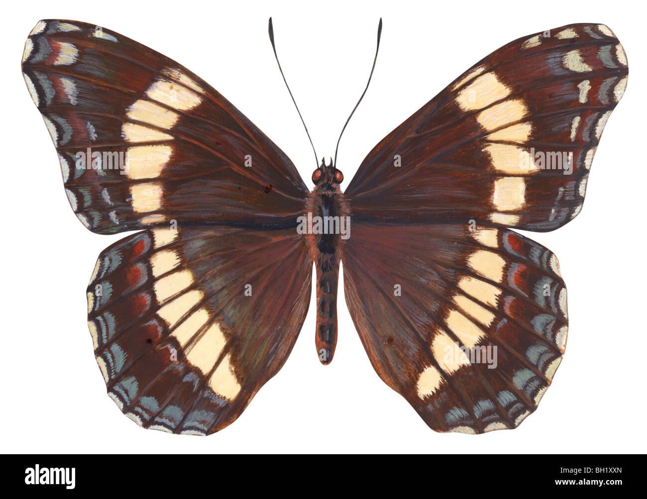 Almirante blanco butterfly Foto de stock