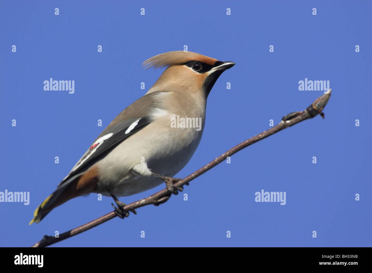 Waxwing Bombycilla euroasiático (Garrulus) cannock staffordshire Imagen De Stock