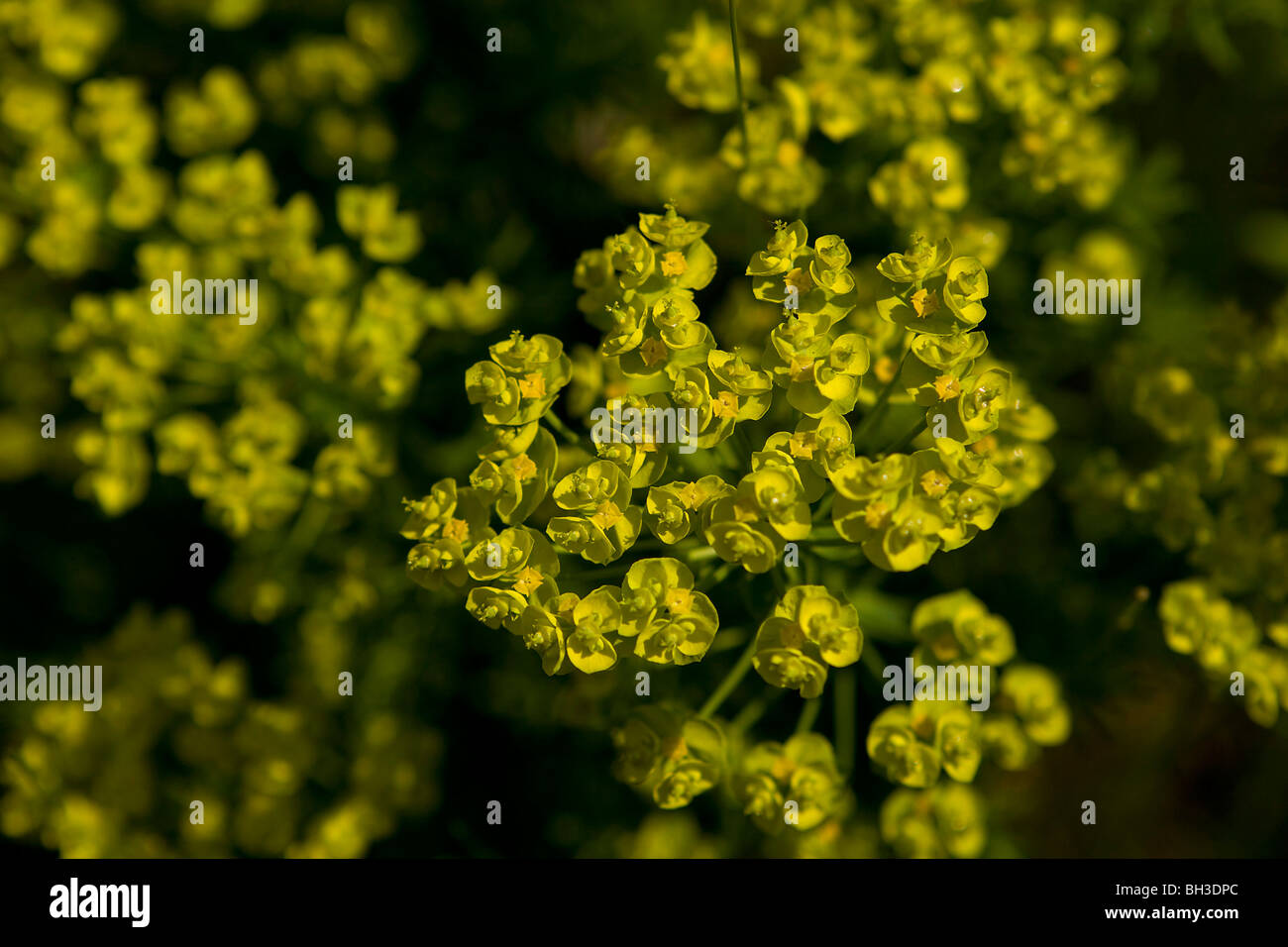 Close-up de euphorbia o expurgo celebra su increíble Chartreusey flor amarilla de las brácteas. Foto de stock