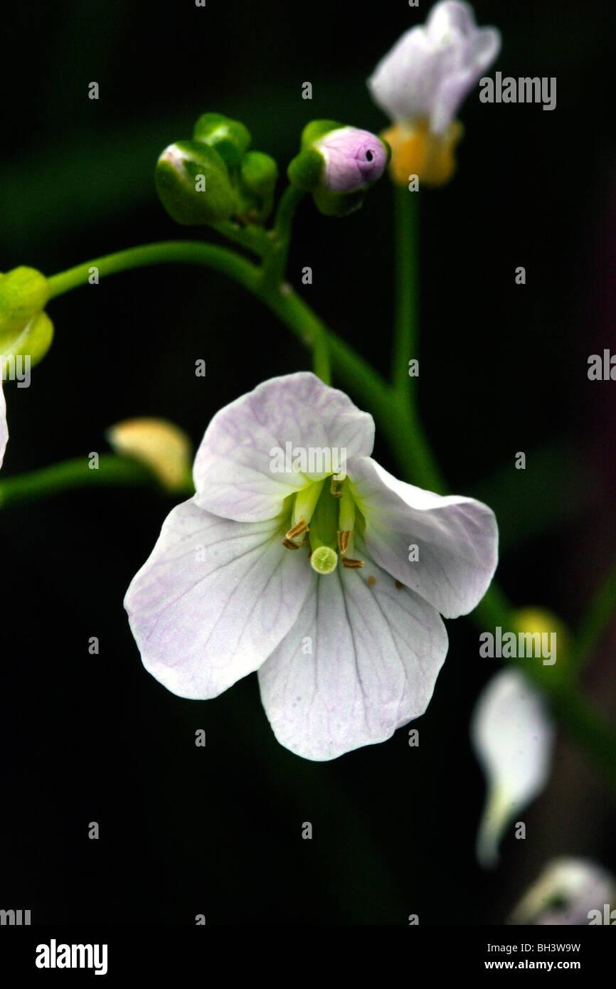 Flor de cuco o lady's smock (Cardamine pratensis). Foto de stock