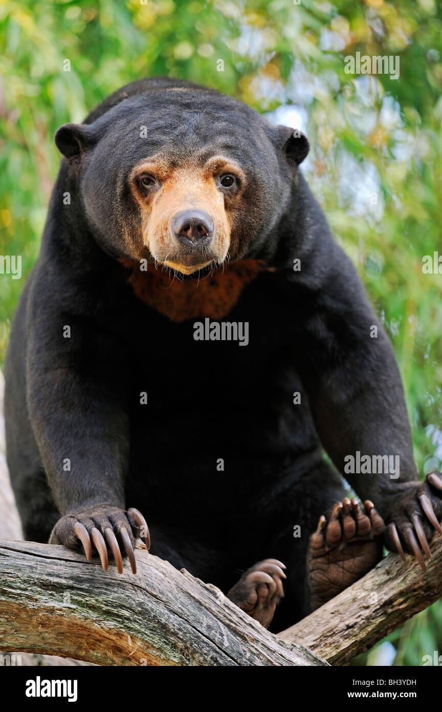 Sun malaya Bear Imagen De Stock