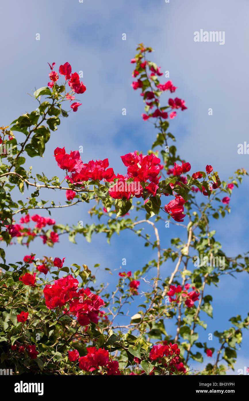Las Buganvillas son populares plantas ornamentales. Imagen De Stock