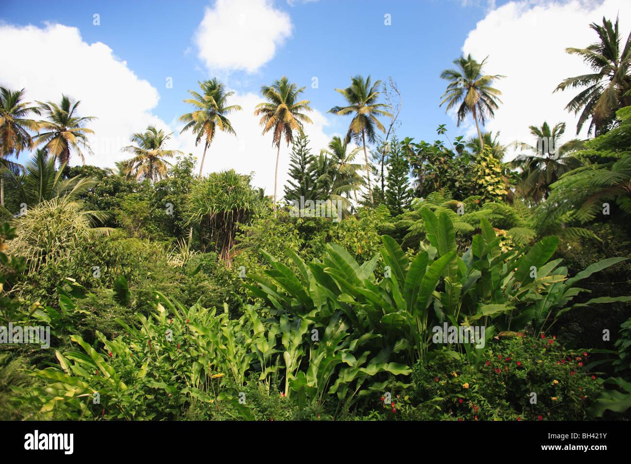 Bosque tropical lluvioso, Dominica, Caribe Foto de stock