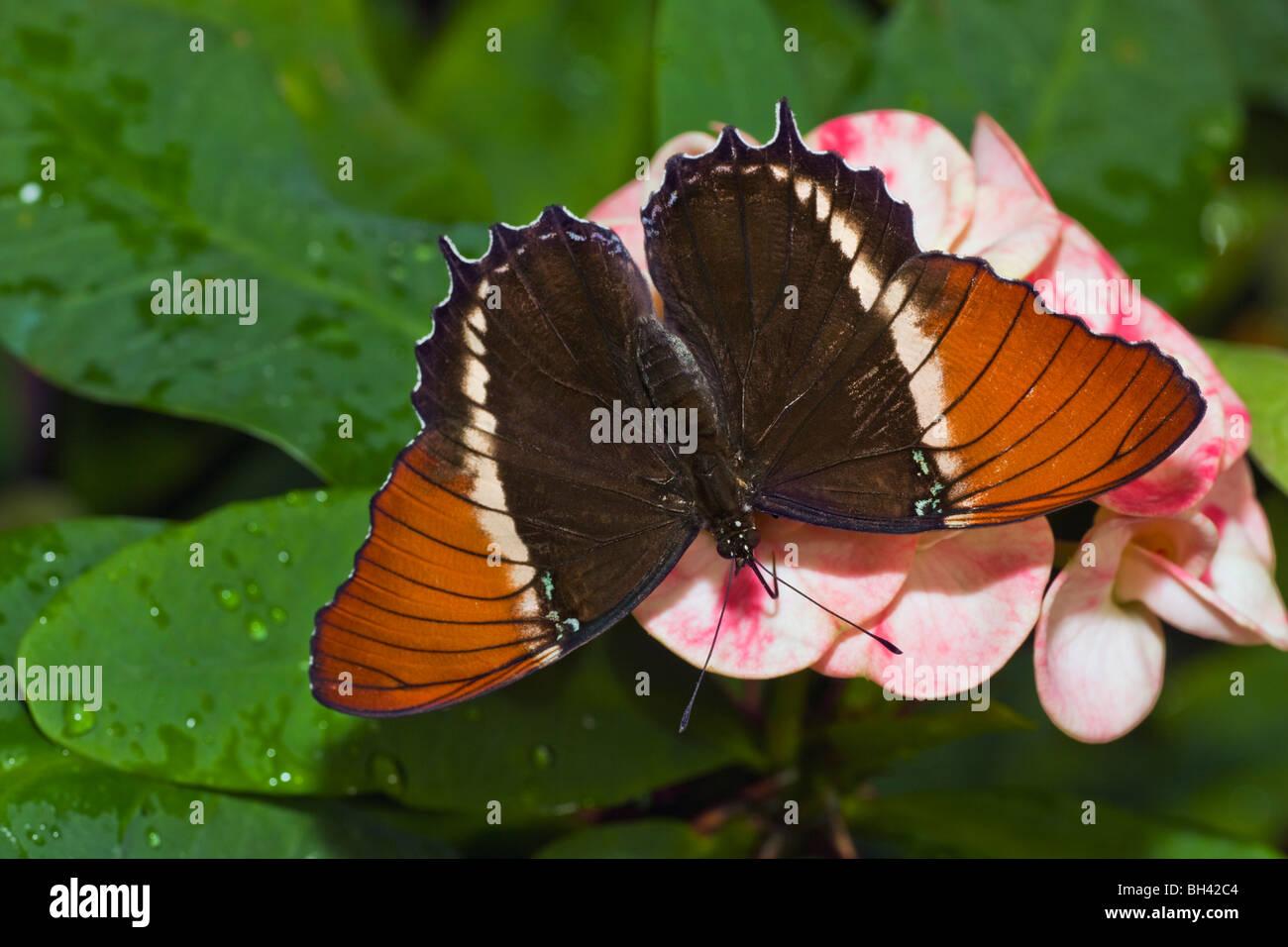 Página de punta oxidada Siproeta epaphus mariposas Imagen De Stock
