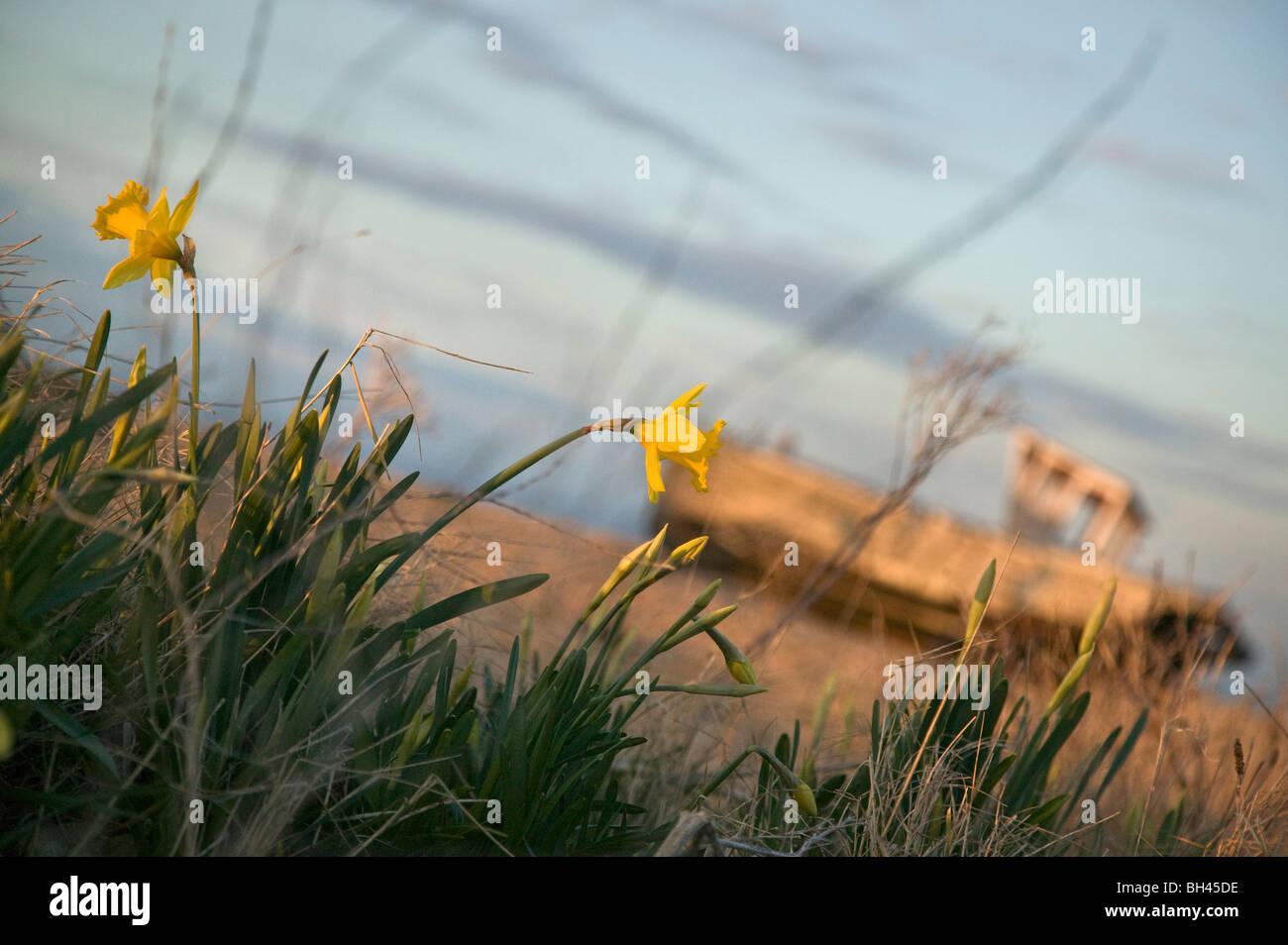 Profundidad del campo de visión narcisos (narcissus pseudonarcissus) Foto de stock