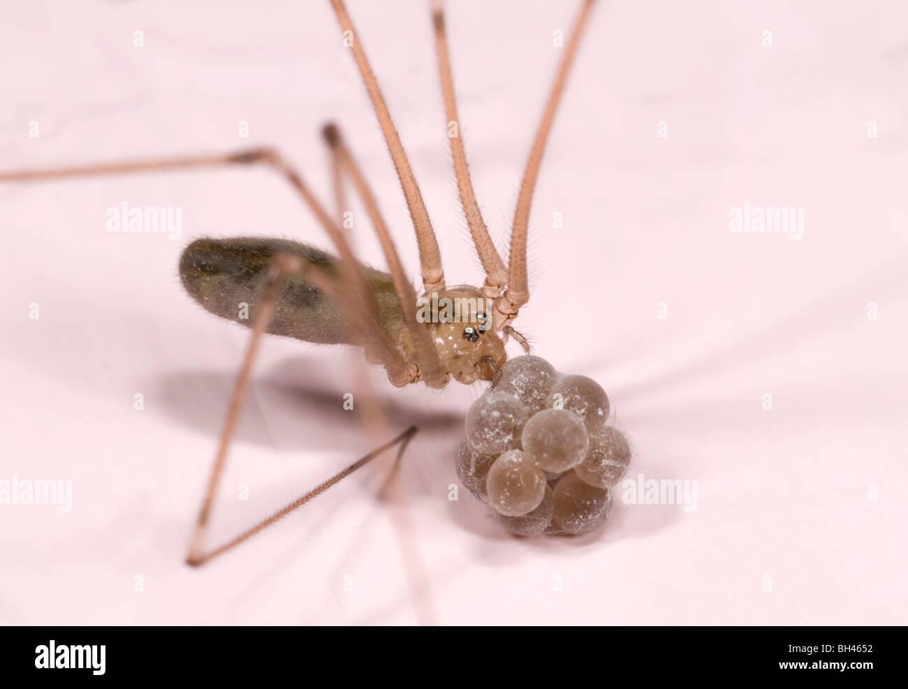 Bodega o araña Daddy Long-piernas araña (Pholcus phalangioides). Imagen Macro de mujeres llevando saco de huevos. Cuarto de baño en casa. Foto de stock