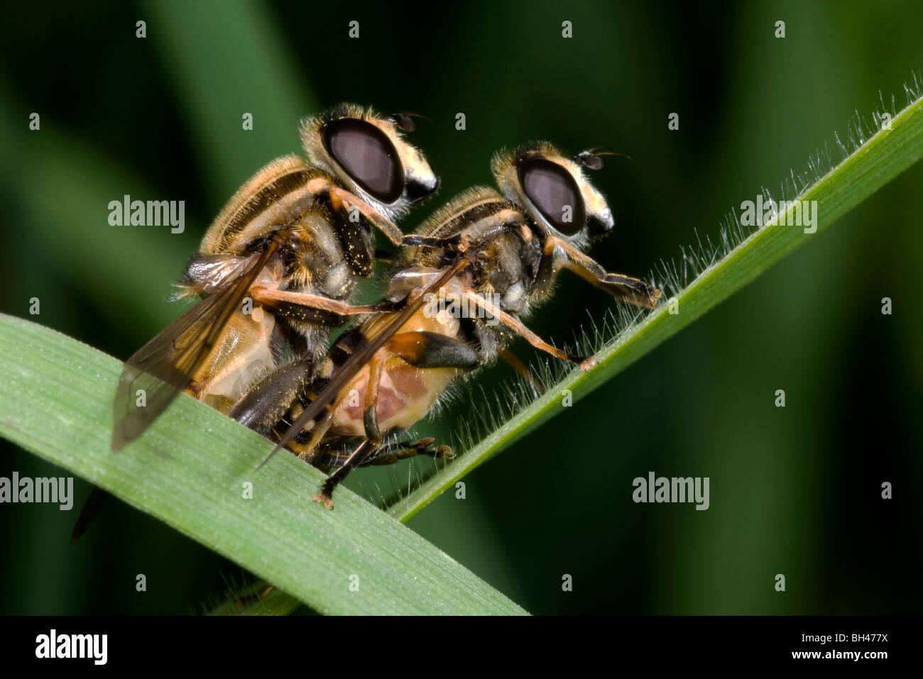 Sirfide (Helophilus pendulus). Par de acoplamiento sobre el césped del tallo en hábitat pantanoso. Foto de stock