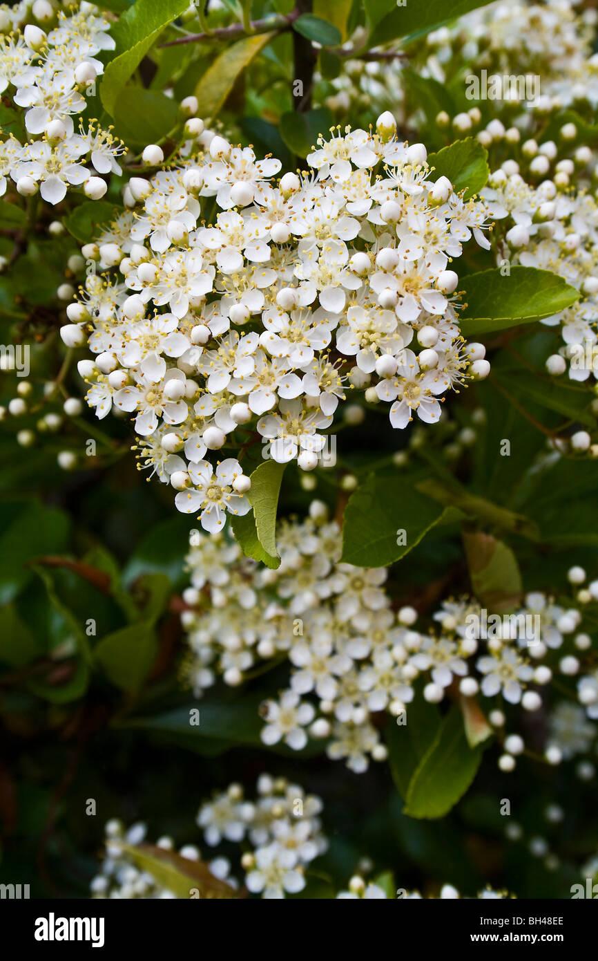Pequeñas flores blancas pyracantha firethorn (Pyracantha coccinea) Foto de stock