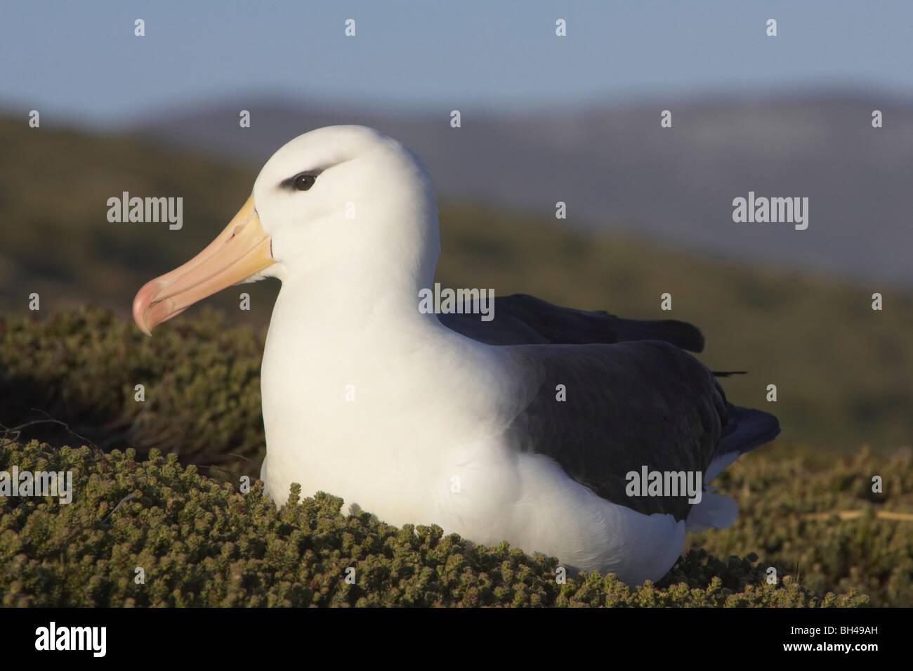 El albatros de ceja negra (Thalassarche melanophrys) en la Isla Saunders. Foto de stock