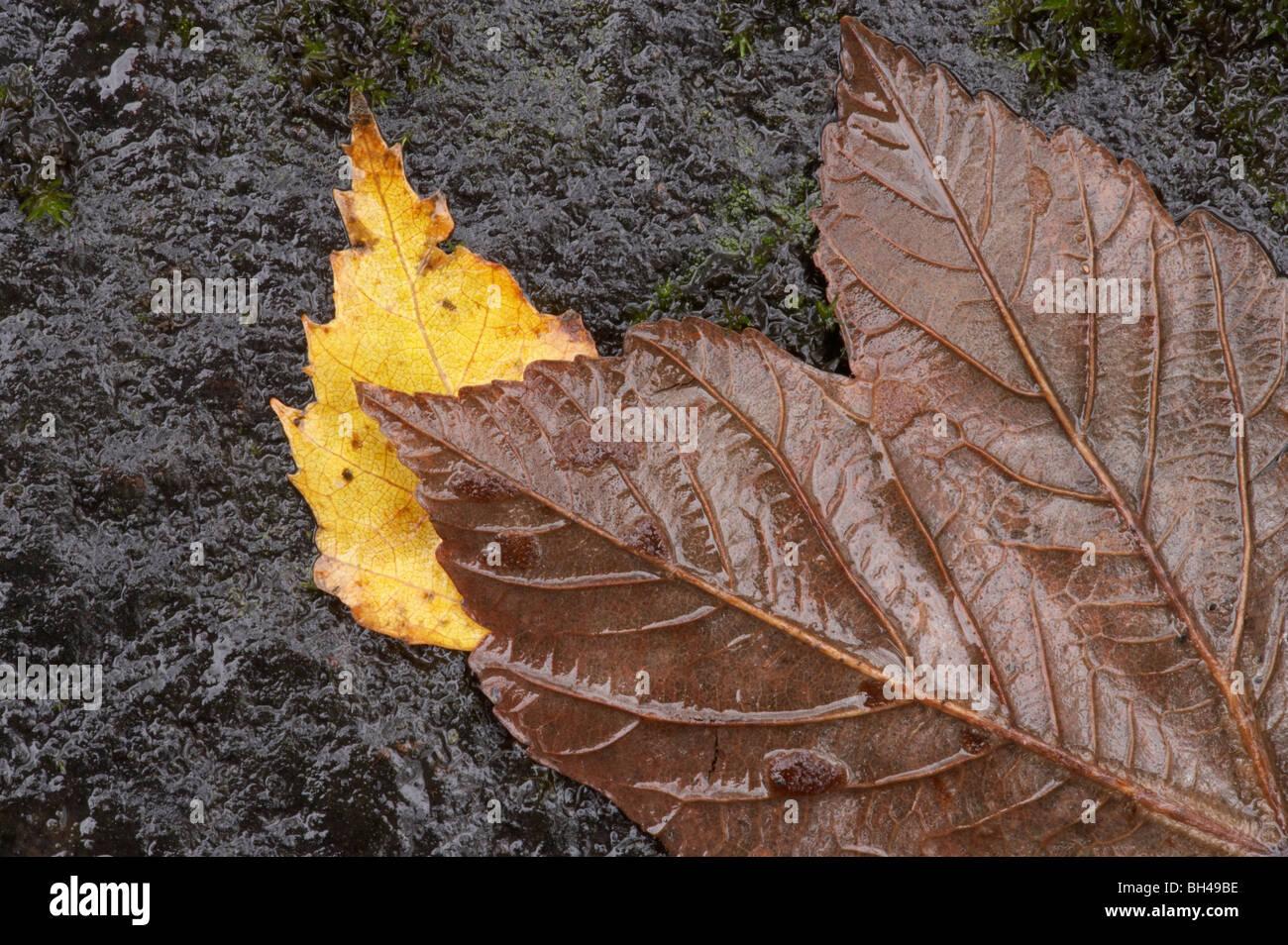Composición abstracta de wet silver abedul (Betula pendula) y hojas de sicomoro, Lake District. Foto de stock