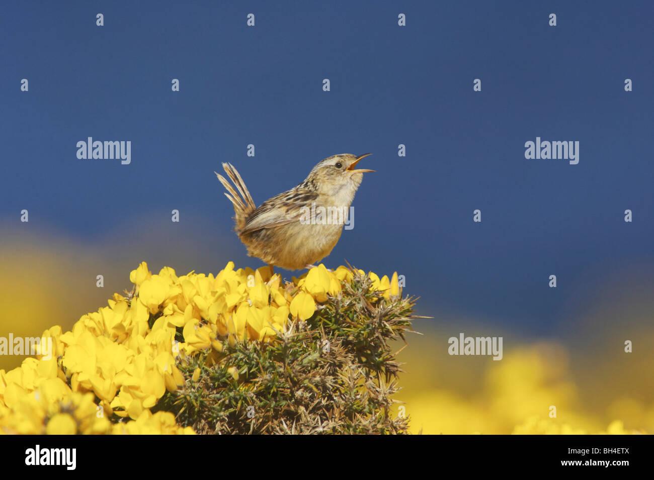 Hierba de las Falkland wren (Cistothorus platensis falklandicus) cantar en el tojo a Bush en la isla de despojos. Foto de stock