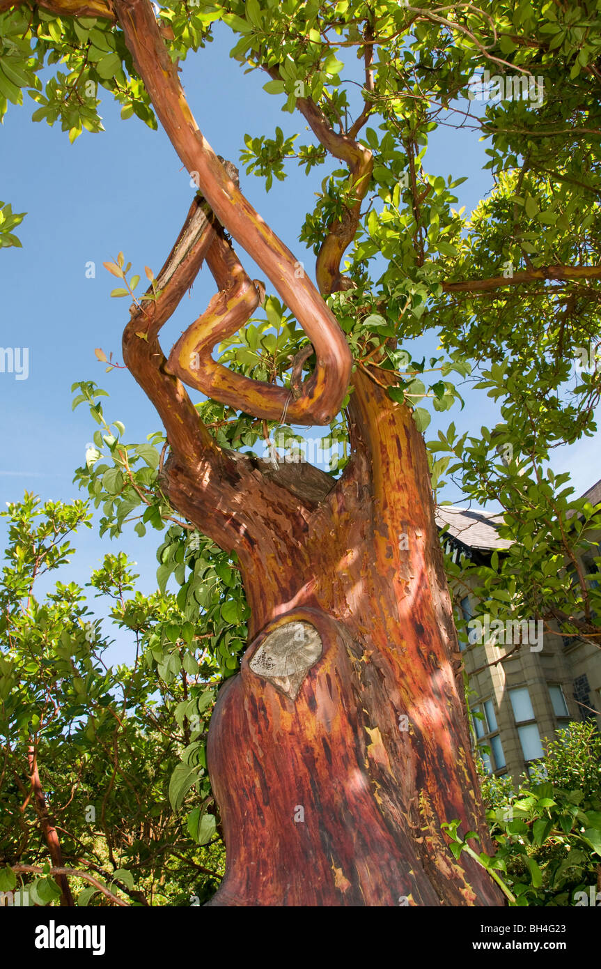 Vista gran angular madroño (Arbutus andrachnoides Manzanita tree) Foto de stock