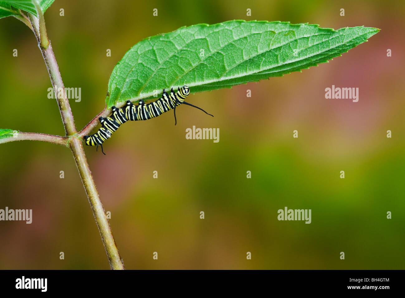 La oruga de la mariposa monarca en la hoja, preparándose para la transformación de larva a pupa, Nova Scotia. Serie de 4 imágenes Foto de stock