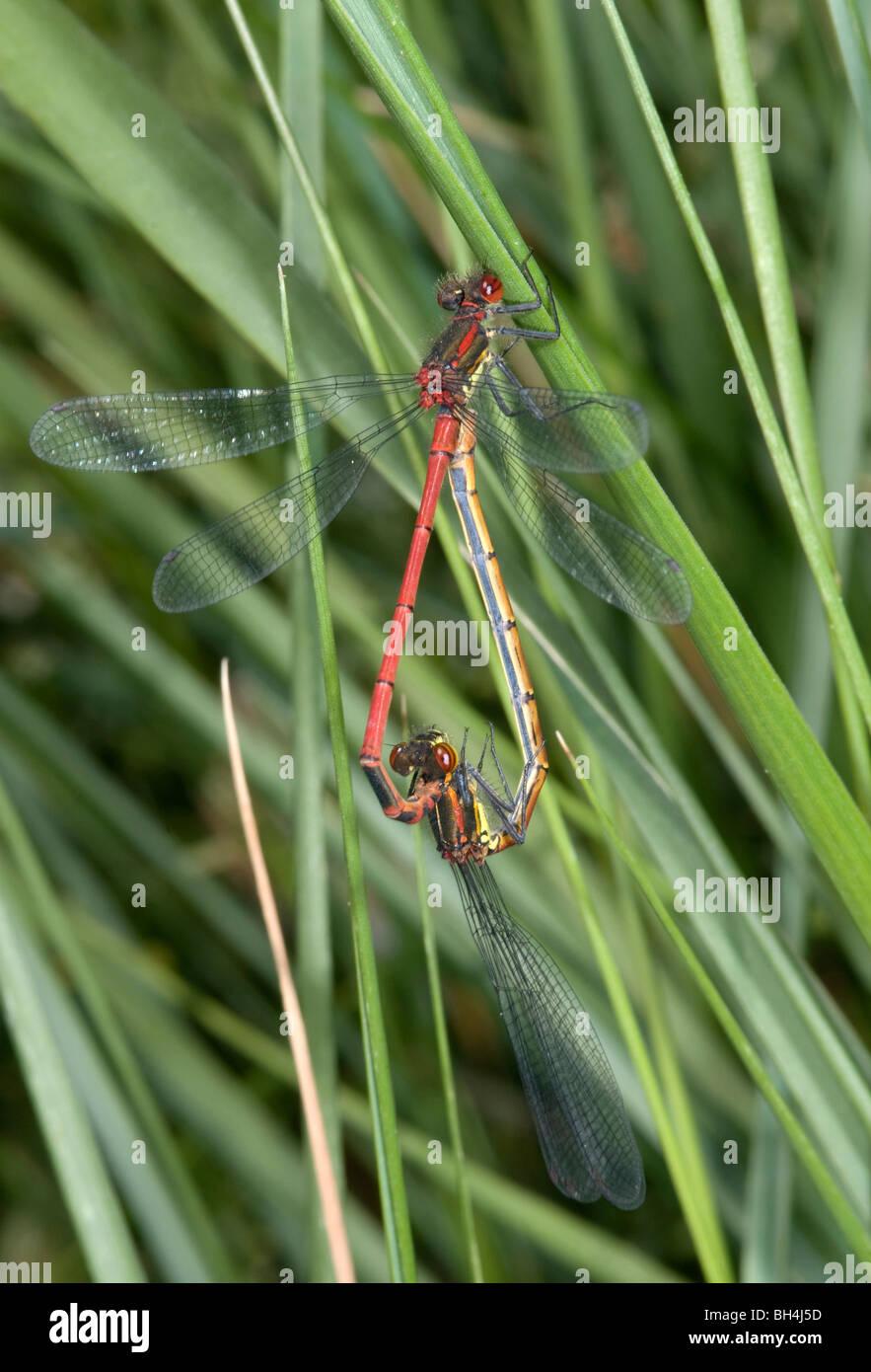 Cerca de un par de acoplamiento rojo grande (damselflies Pyrrhosoma nymphula) en hierba larga cerca de la costa. Foto de stock