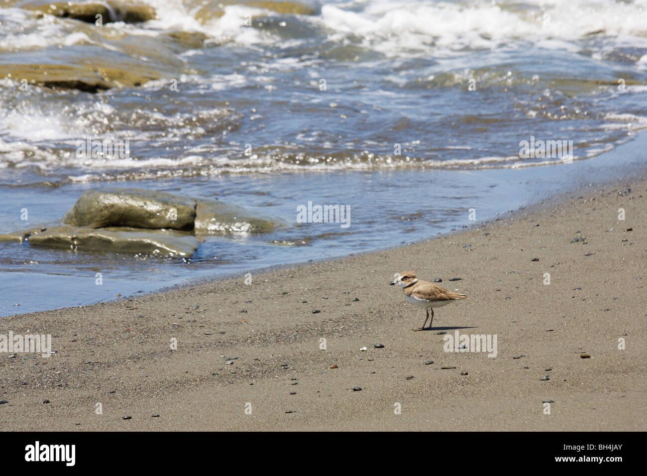 Playa Pavones Costa Rica con semi-palmated patinegro (Charadrius semipalmatus). Foto de stock