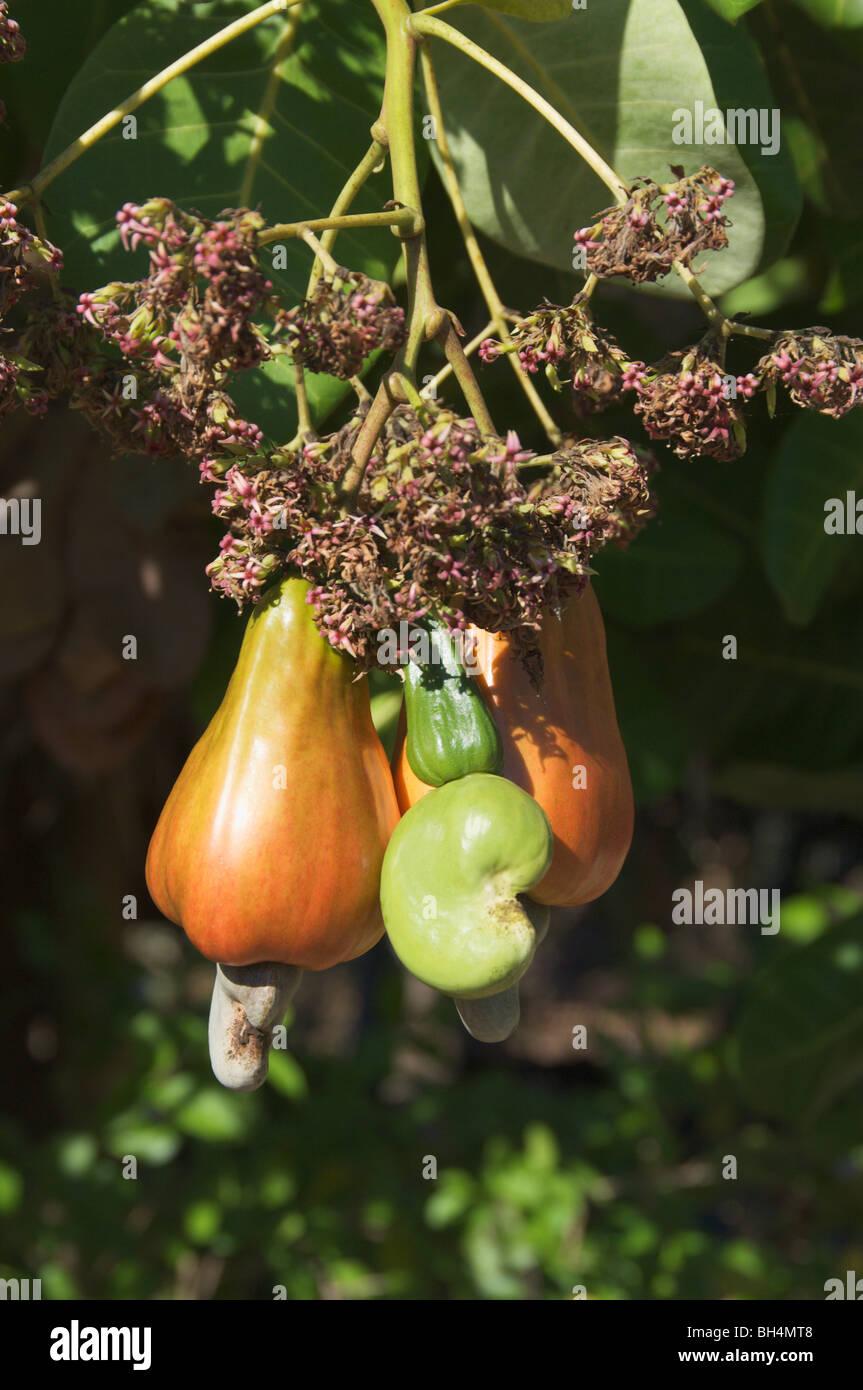Las nueces de anacardo (Anacardium occidentale o curatellifolium). Foto de stock