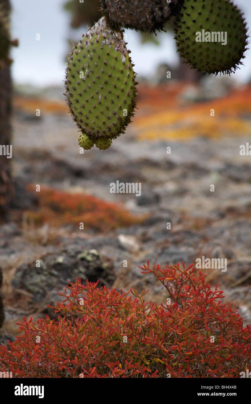 Nopal (Opuntia spp.) en Galápagos echios var echios carpetweed (Sesuvium edmonstonei) Foto de stock