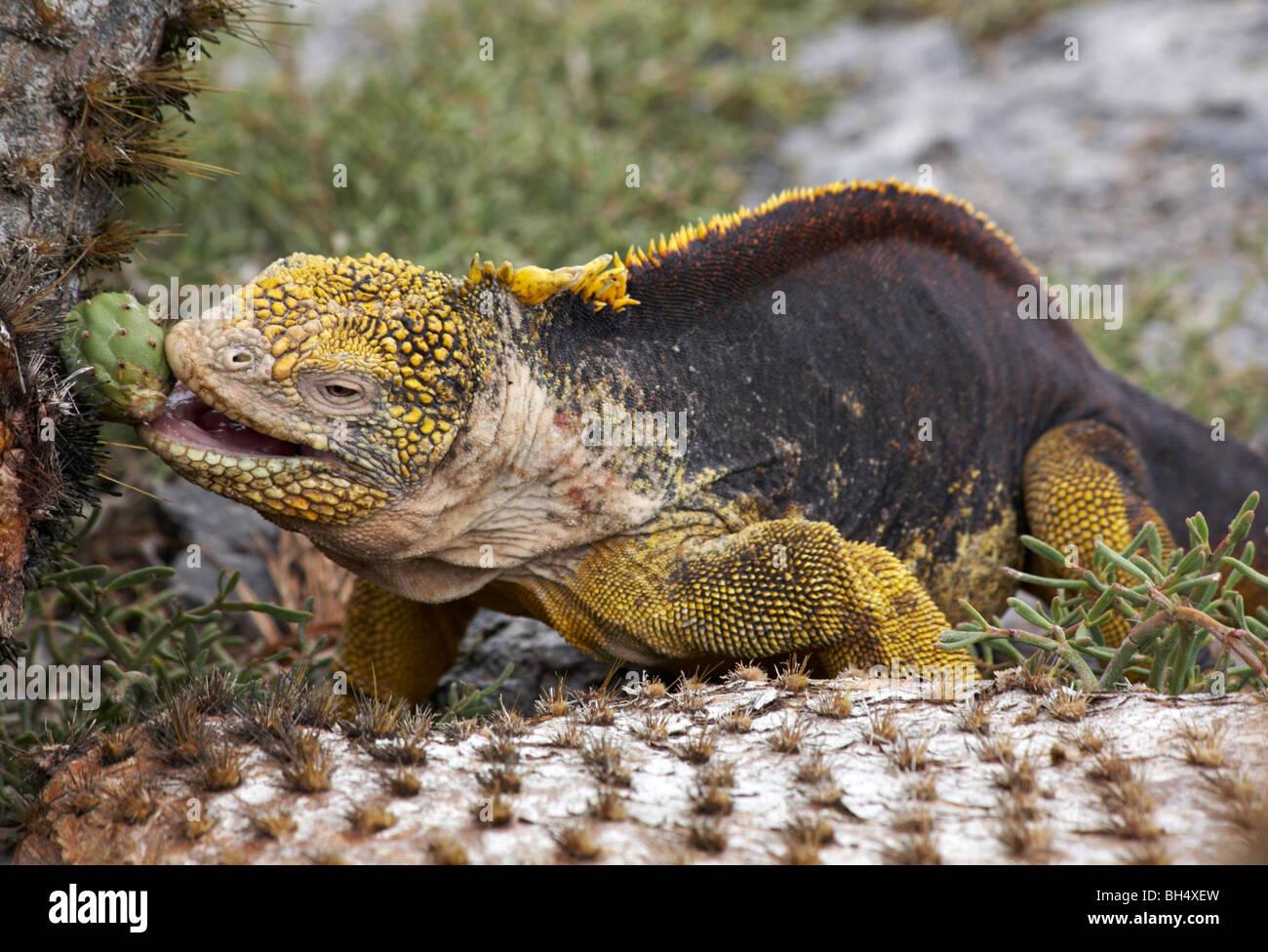 Iguanas terrestres (Conolophus subcristatus) lánguida gigante nopal (Opuntia echios var echios spp) Foto de stock