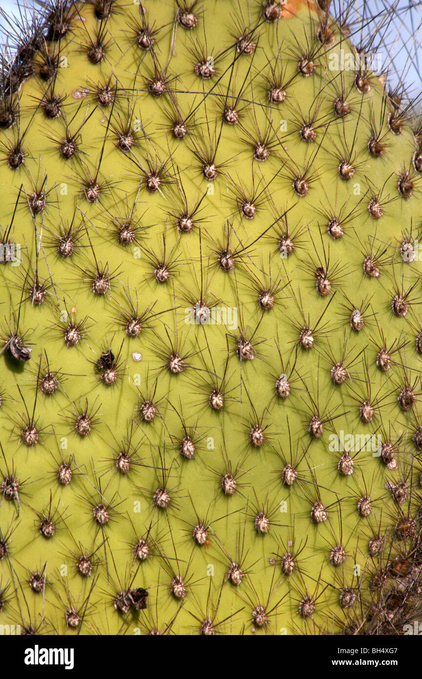 Cerca del gigante lánguida nopal (Opuntia echios var echios spp) en Dragon Hill, Isla Santa Cruz. Foto de stock