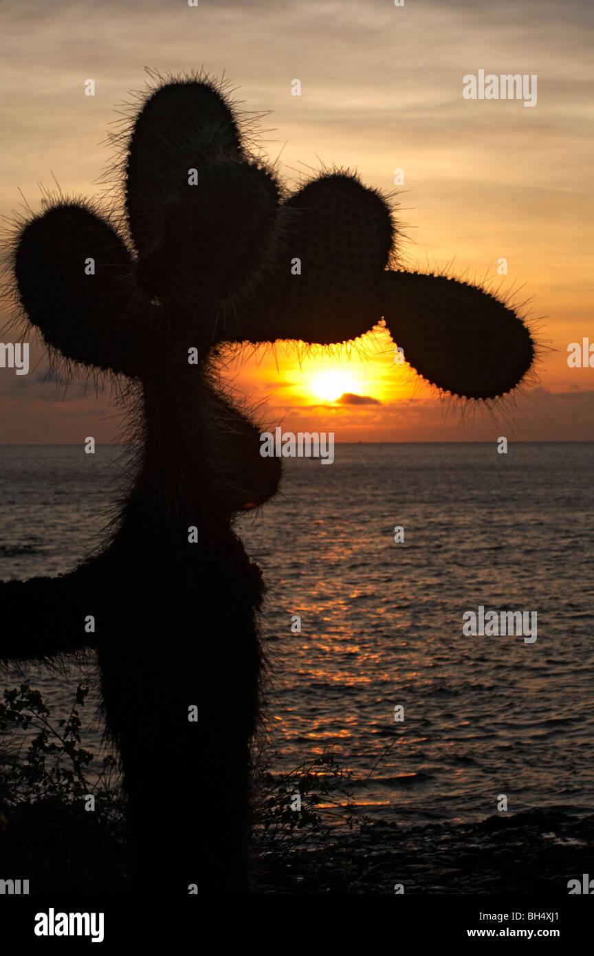 Silueta lánguida gigante nopal (Opuntia echios var echios spp) Foto de stock