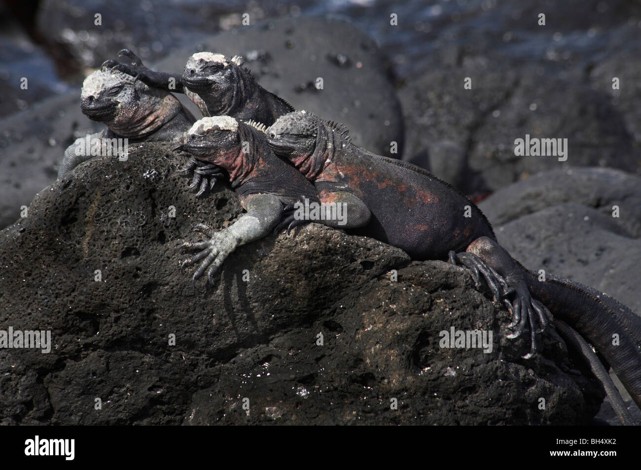 Las iguanas marinas de las Galápagos (Amblyrhynchus cristatus venustissimus) Ecuador Foto de stock