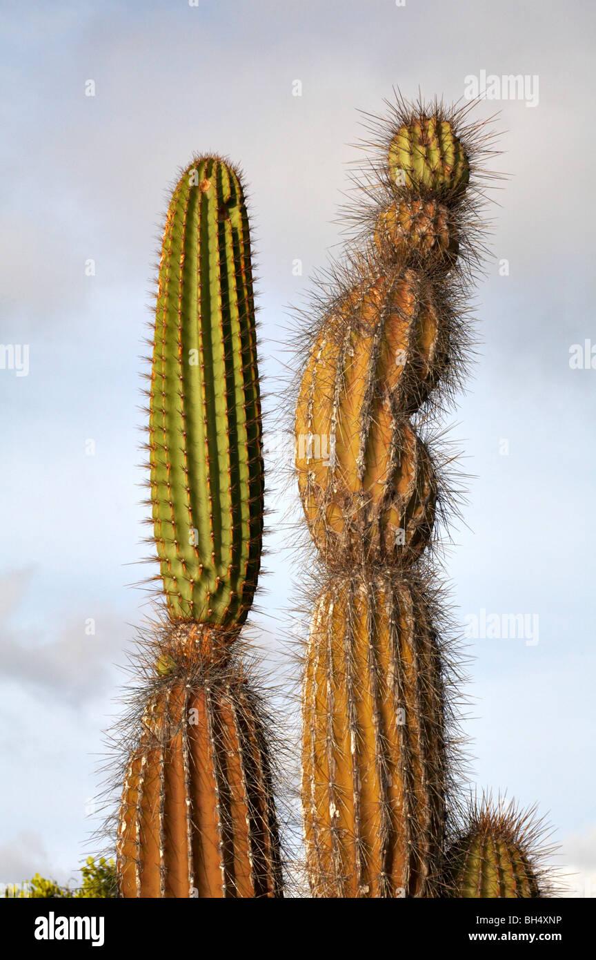 Close-up de cactus candelabro (Jasminocereus thouarsii var delicatus) en Dragon Hill, Isla Santa Cruz. Foto de stock