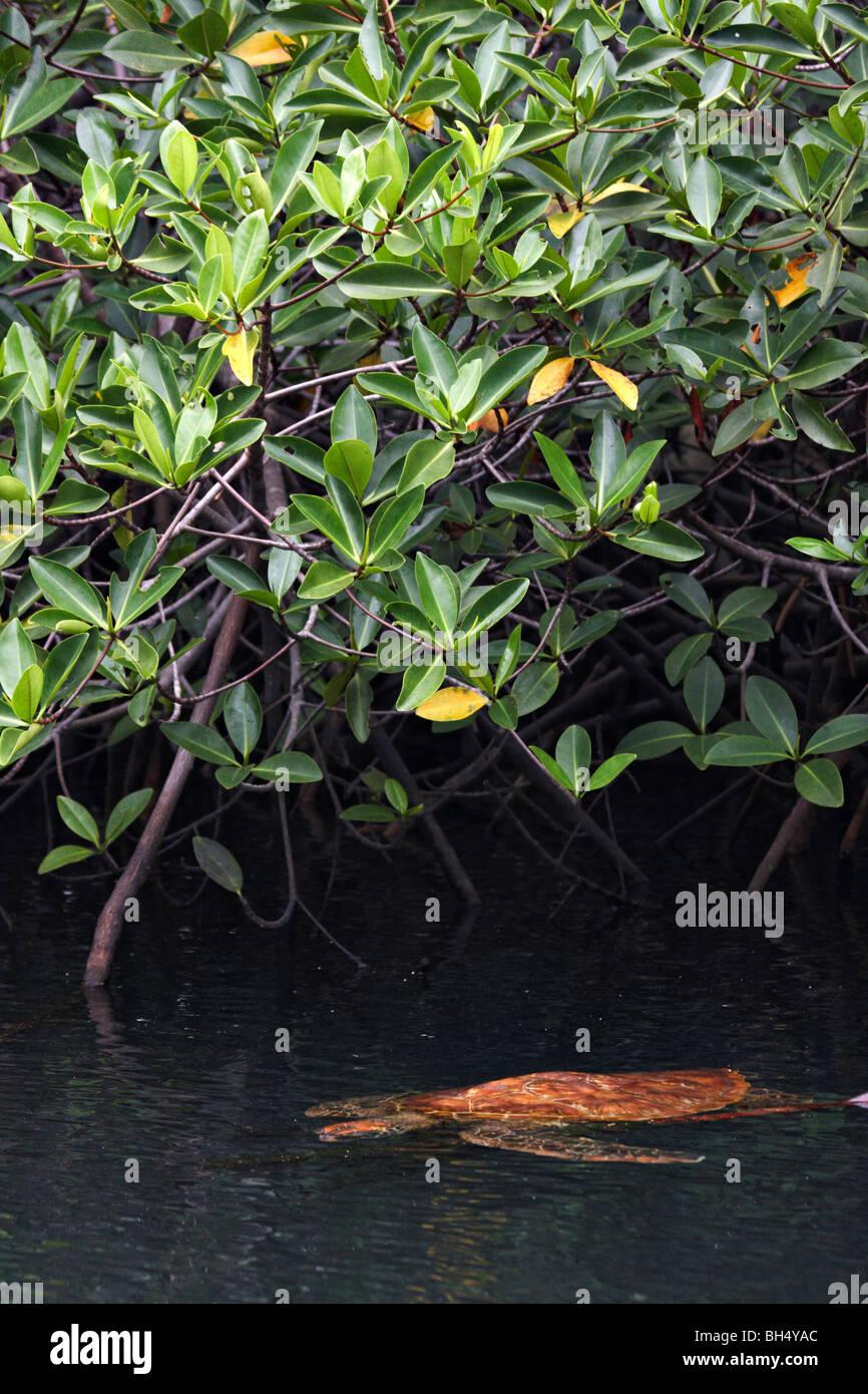Pacífico Galápagos tortuga verde (Chelonia mydas agassisi) natación Foto de stock