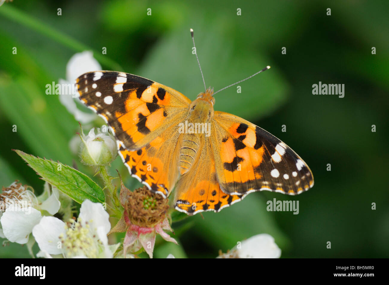 Painted Lady Vanessa cardui fotografiado en UK Foto de stock