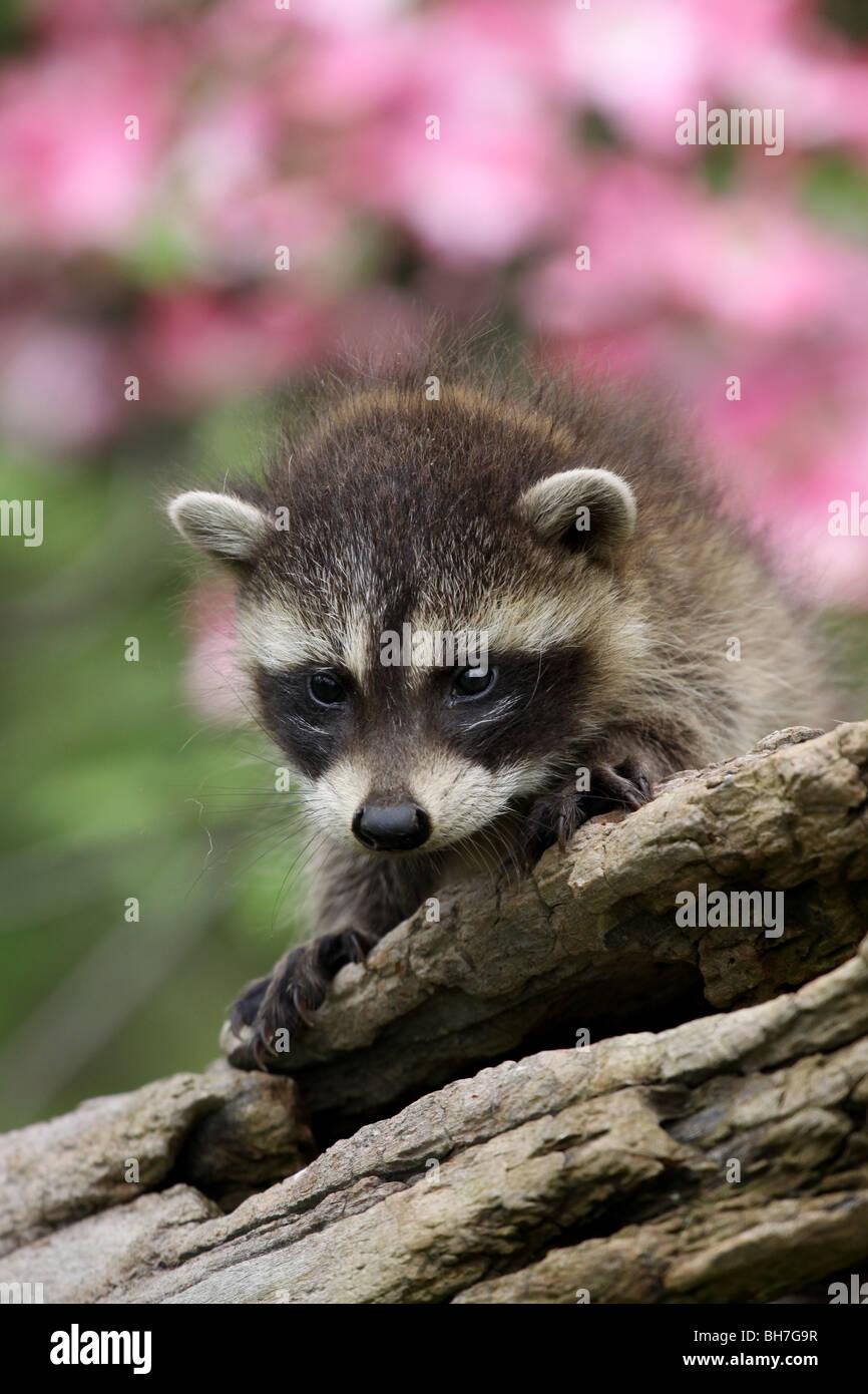 Registro de bebé mapache flor dogwood Imagen De Stock