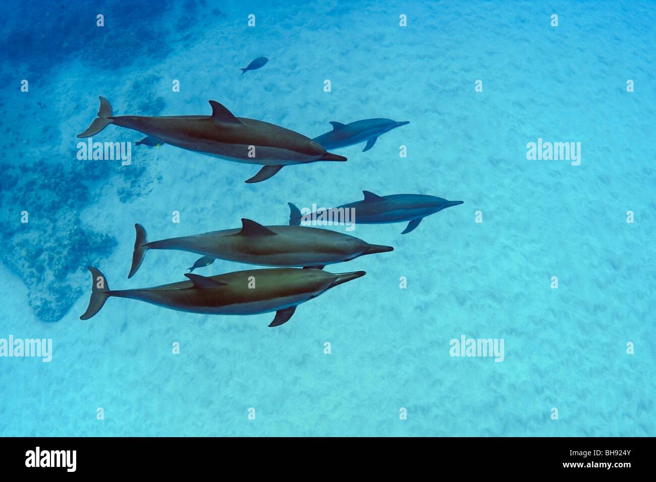 Delfines hawaiano, Stenella longirostris, Isla Grande, costa de Kona, Hawaii, EE.UU. Foto de stock