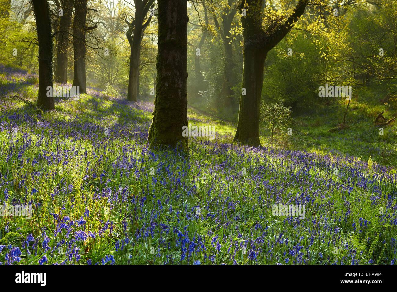 Las campánulas azules en el bosque en Batcombe, Dorset, Inglaterra, Reino Unido. Imagen De Stock