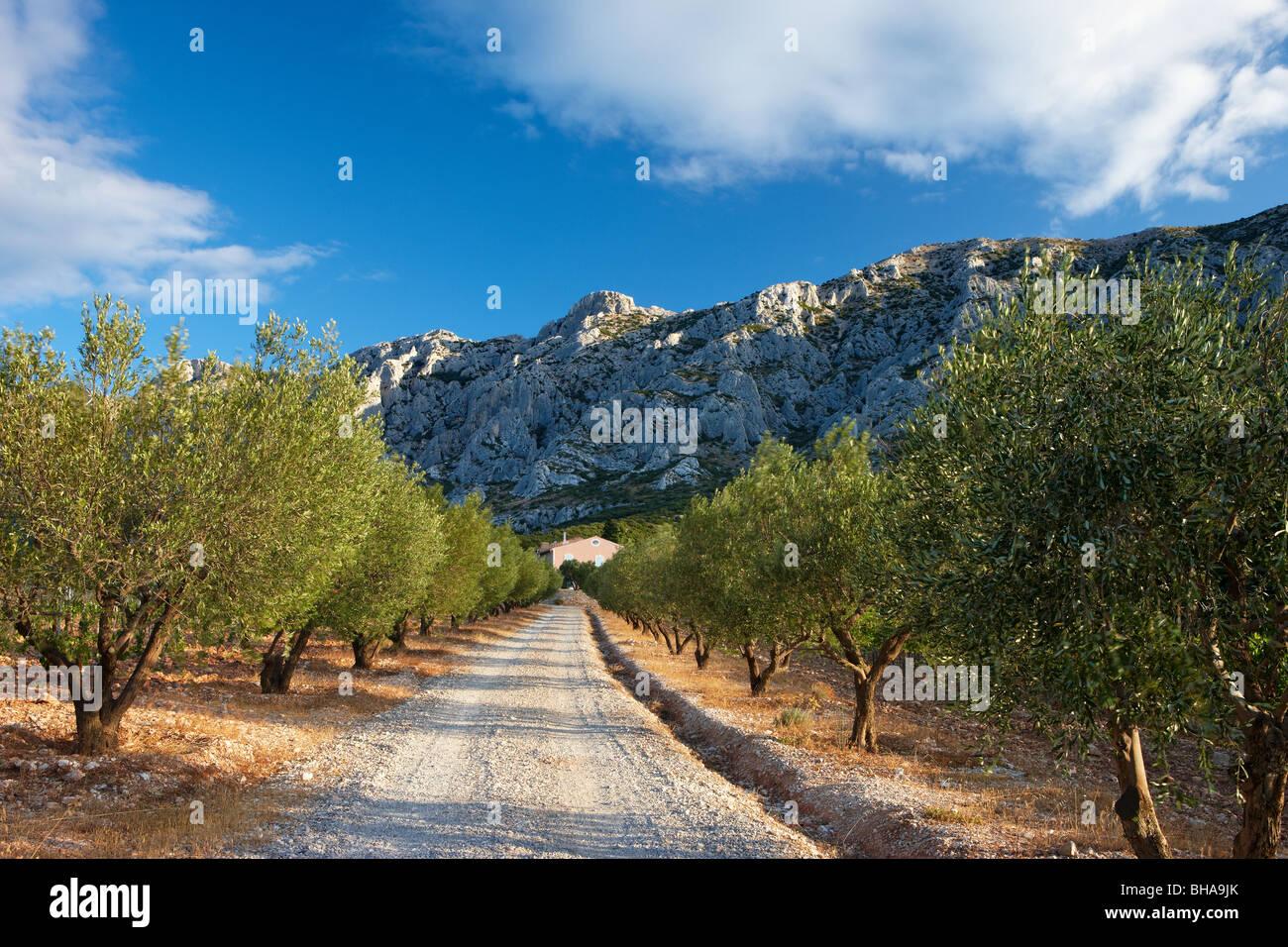 Una avenida bordeada de olivos debajo de la Montagne Ste Victoire nr Puyloubier, Provenza, Francia Foto de stock