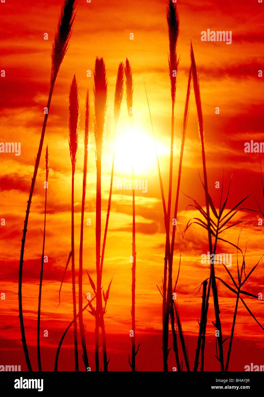 La hierba crece a lo largo del Rillito River en el desierto de Arizona, Tucson, Arizona, EE.UU. Imagen De Stock
