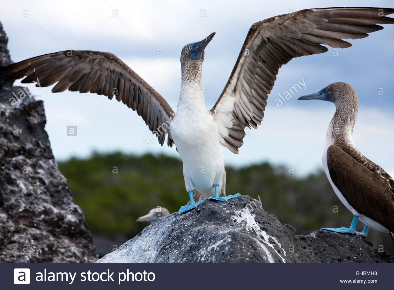 Archipiélago de animales aves aves archipelo piquero piqueros de patas azules piqueros Ecuador Galapagos isla Imagen De Stock