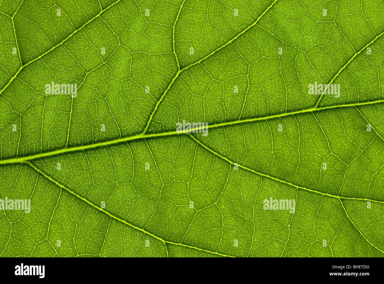 Aguacate estructura foliar iluminada desde atrás con una pistola de flash Imagen De Stock
