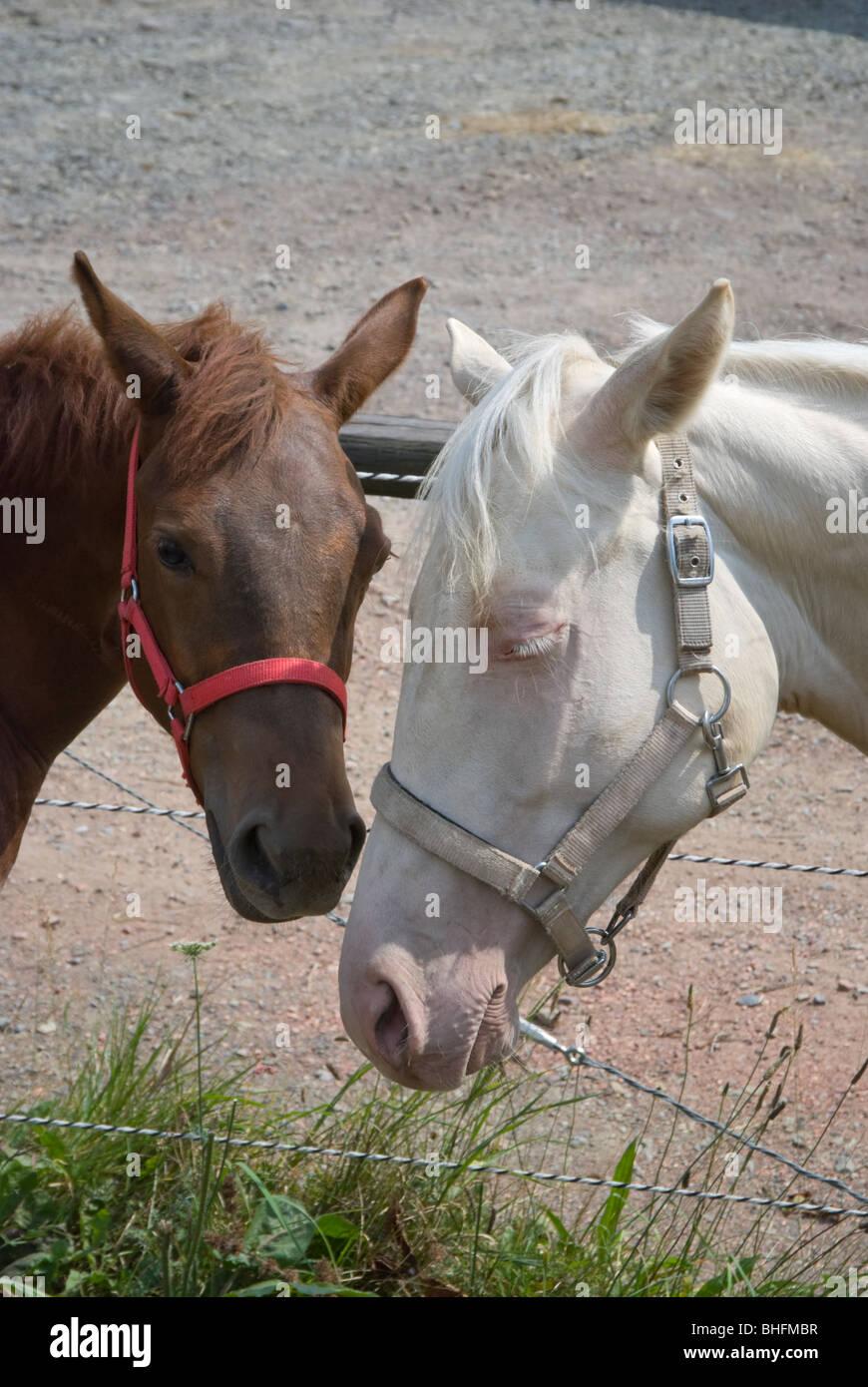 Imagen de dos sleepy yearling caballos con orejas hacia abajo y la cabeza inclinada, mirando tímido, triste Imagen De Stock