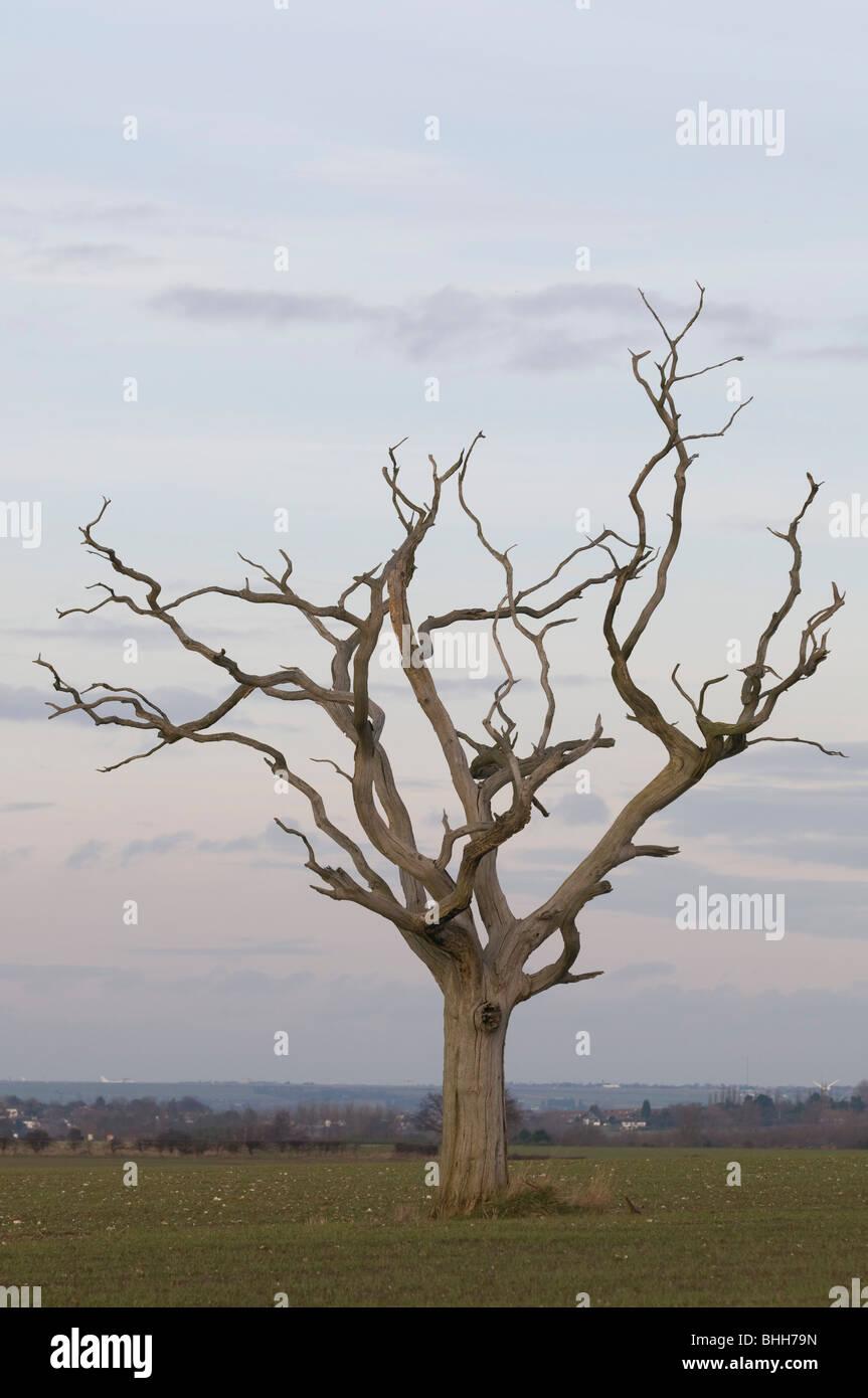 Árbol muerto en el campo Kent England Reino Unido Foto de stock