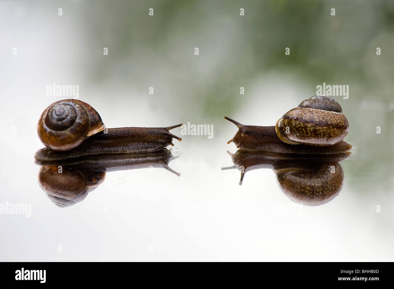 Los caracoles en un espejo, close-up, Suecia. Imagen De Stock