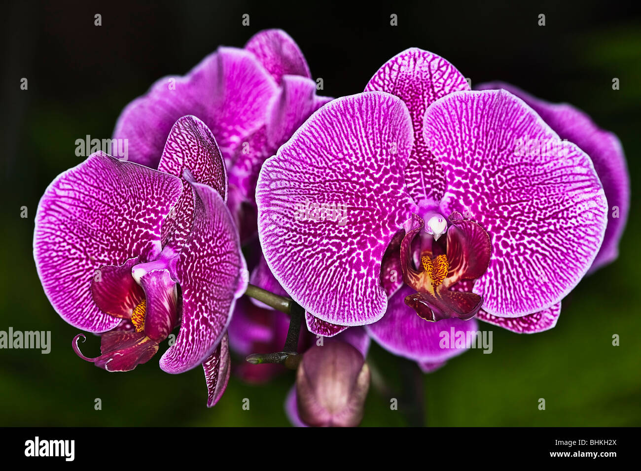 Orquideas Imagen De Stock