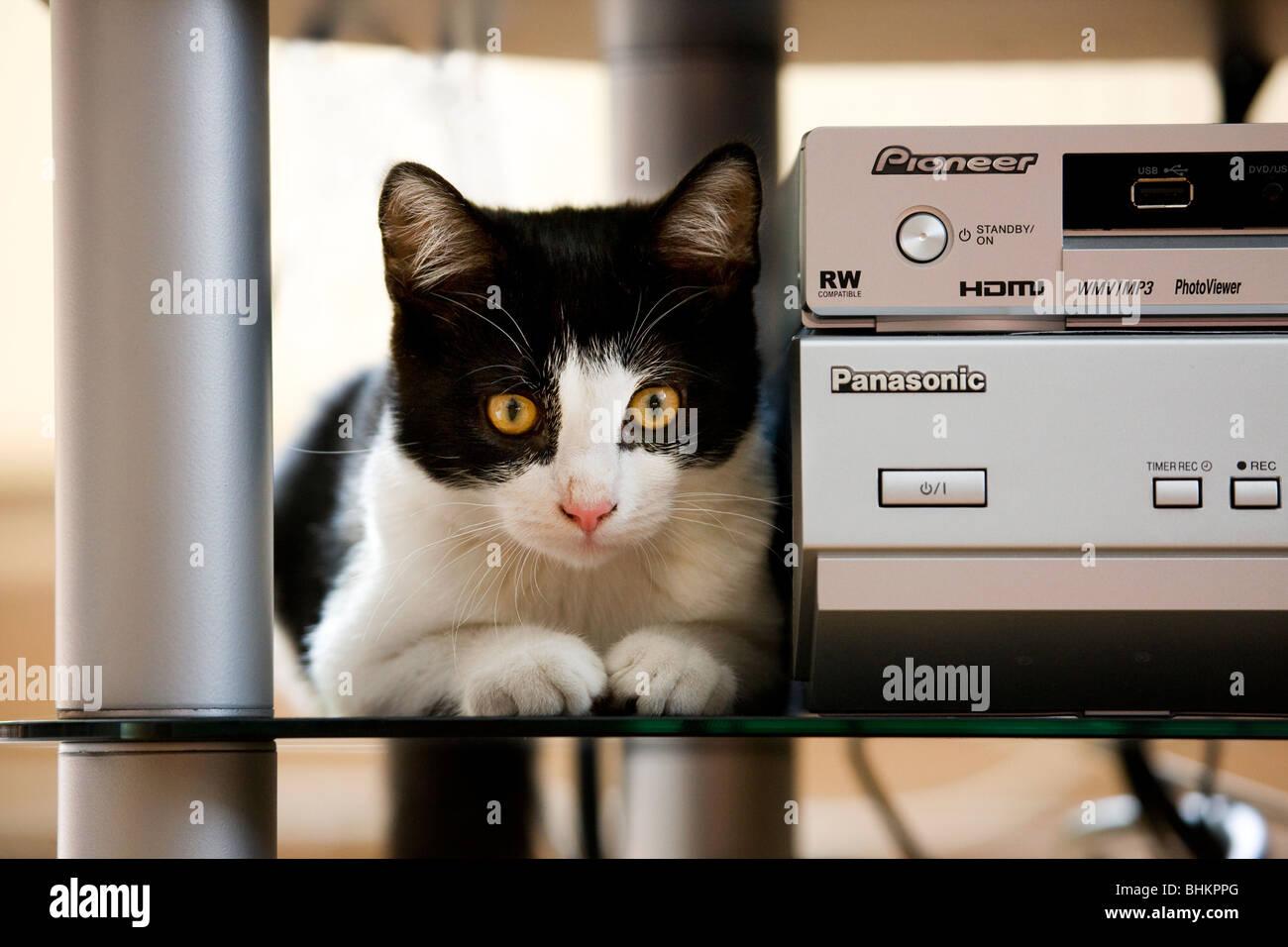 Los gatos domésticos (Felis catus) junto a un equipo estéreo en el salón Imagen De Stock