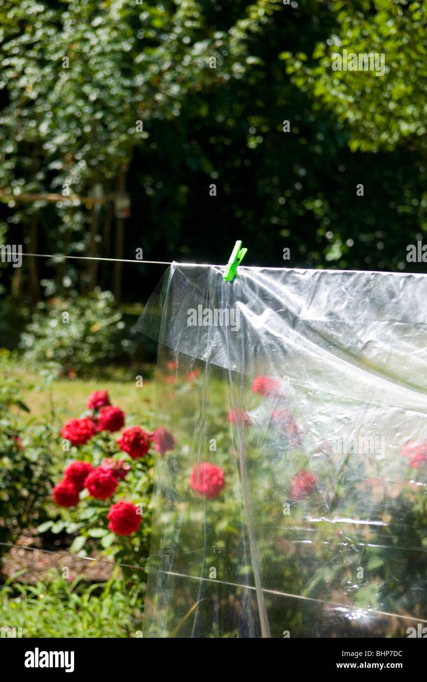 Una hoja de plástico transparente que cuelga en el sol en un jardín con un lecho de rosas vibrantes en Imagen De Stock