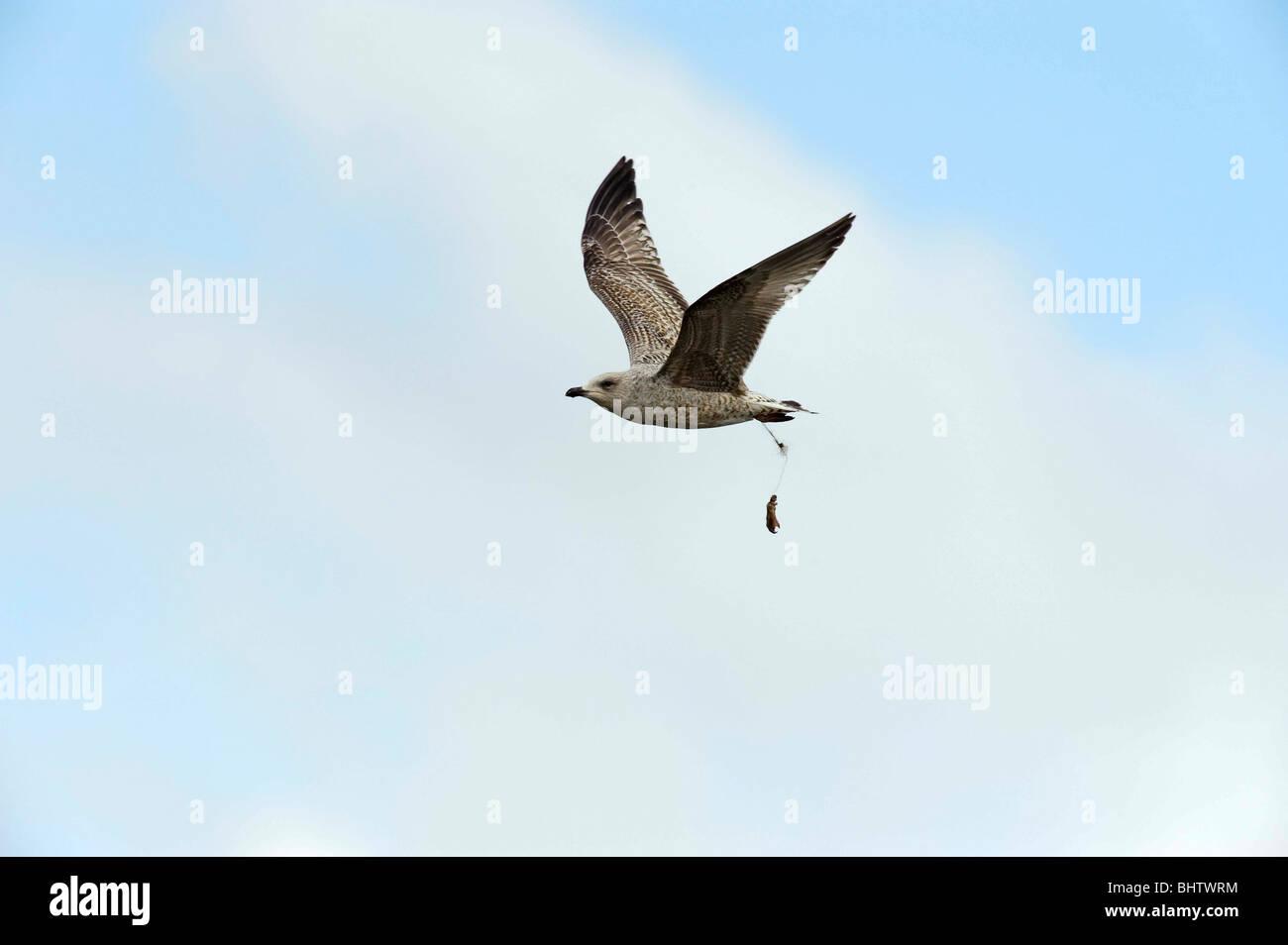 La conservación. Protección de Aves. Las amenazas a las aves. Pesca deportiva. La pesca. Peligro para Imagen De Stock