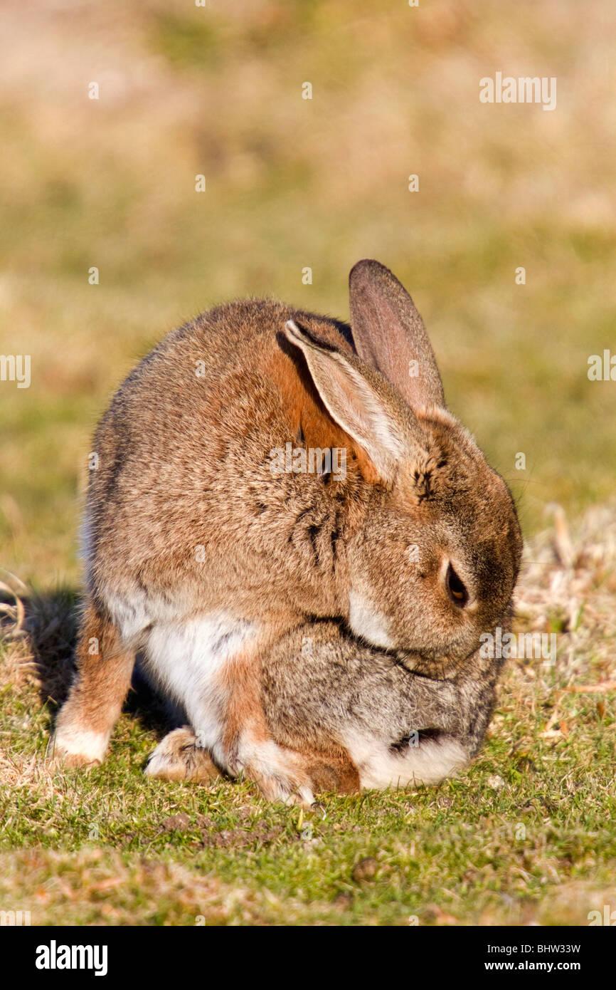 ; Conejo Oryctolagus cunniculus; acicalamiento Imagen De Stock