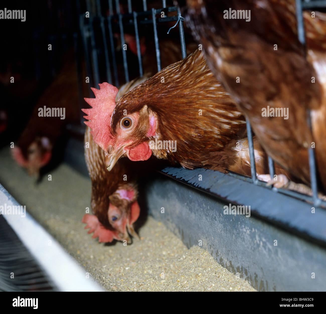 Una batería de gallina ponedora alimentando a través de la jaula, bares Foto de stock
