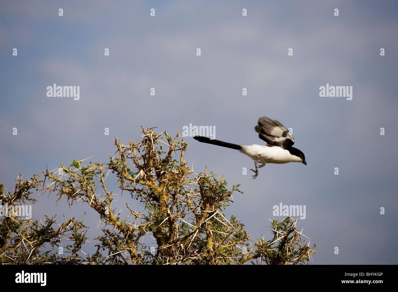 """Actuación en """"The Shrike"""" fiscal común, NP Mikumi, Tanzania, África Oriental Imagen De Stock"""