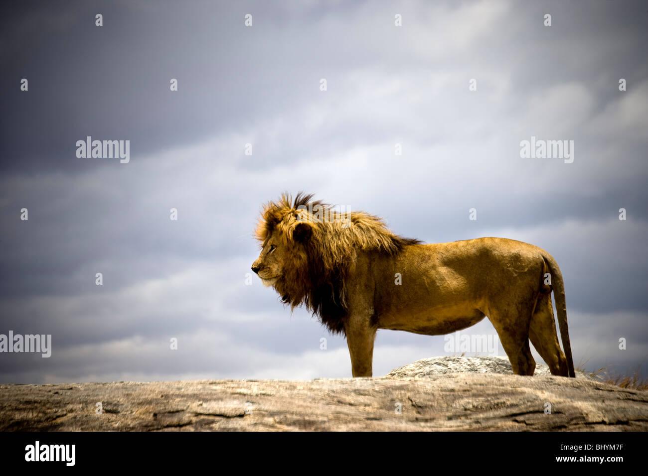 León macho, Parque nacional Serengeti, Tanzania, África Oriental Foto de stock