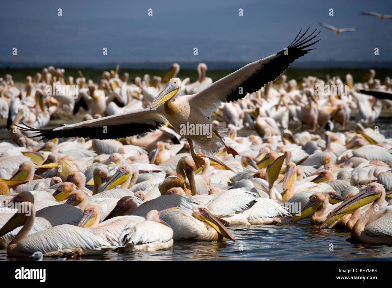 Gran pelícano blanco NP, el Lago Nakuru, Kenya, Africa Oriental Imagen De Stock