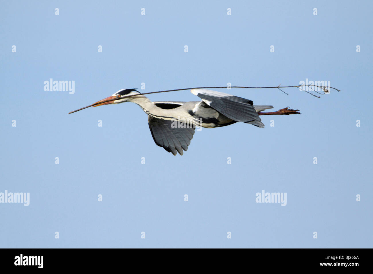 Garza real (Ardea cinerea) - nido de pájaro en pleno vuelo con material en bill Imagen De Stock
