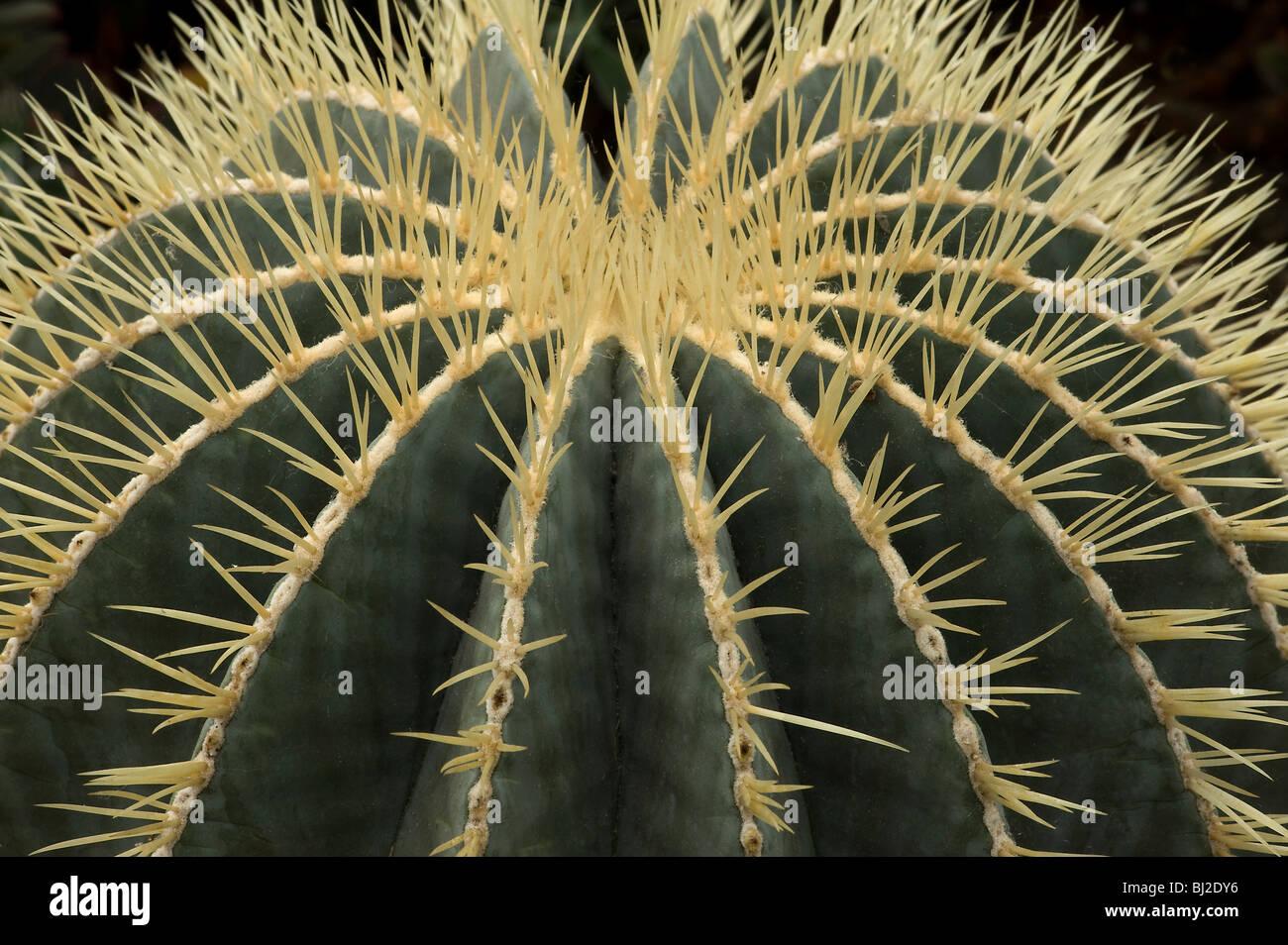 Ferocactus glaucescens con espinas que salen de las costillas N E México Imagen De Stock